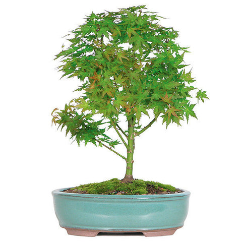 Japanese Maple Bonsai Trees For Sale