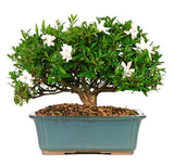 Gardenia Bonsai Tree for sale