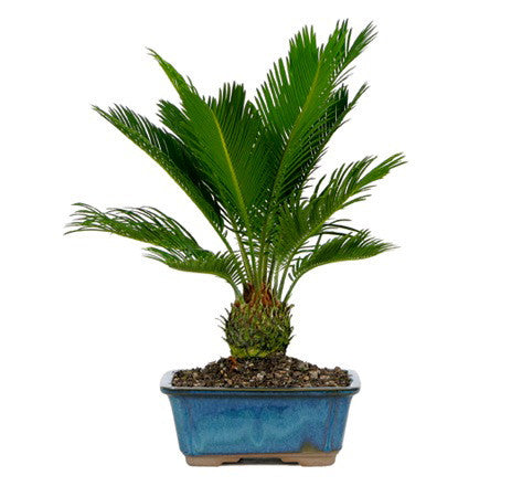 Sago Palm Bonsai Tree