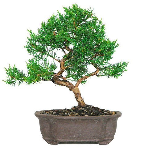 Shimapku Juniper Bonsai Tree