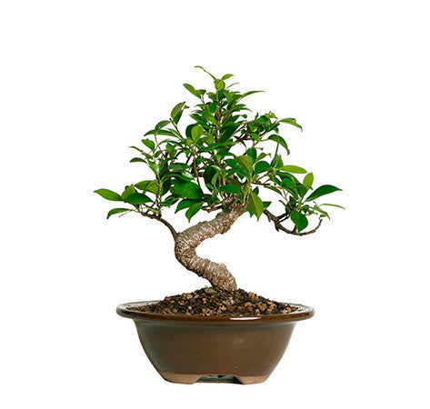 Golden Gate Ficus Bonsai Trees