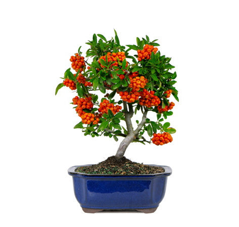 Dwarf Pyracantha Bonsai Trees For Sale