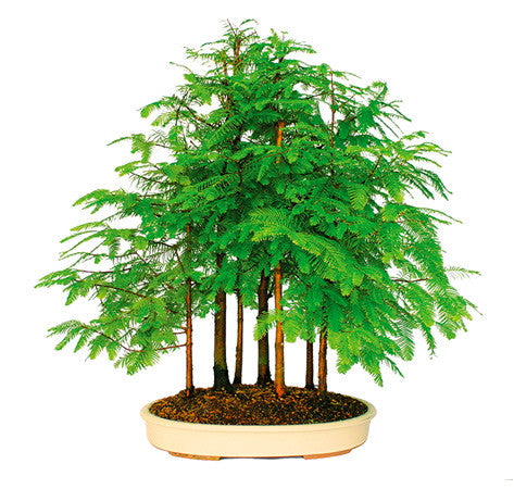 Dawn Redwood Bonsai Tree for sale