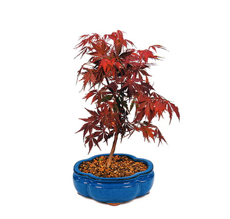 Japanese Red Maple Bonsai Trees For Sale