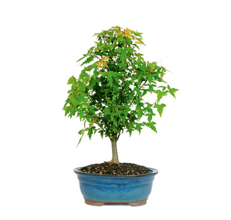 Trident Maple Bonsai Tree For Sale