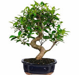 Golden Gate Ficus Bonsai Tree