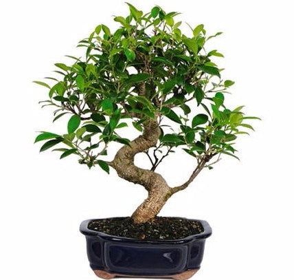 Terrific Ficus Bonsai Tree Care From Our Wholesale Nursery Wiring 101 Akebretraxxcnl