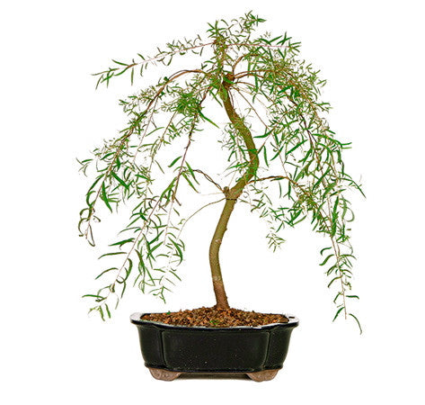 Japanese Weeping Willow Bonsai Tree For Sale