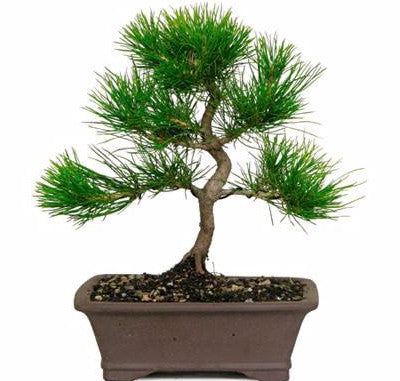 Japanese Black Pine Bonsai Tree for sale