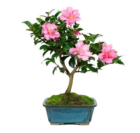 Camellia Bonsai Tree for sale