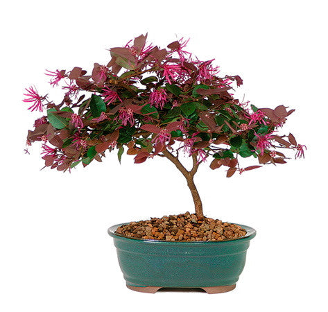 Fringe Flower Bonsai Tree for sale