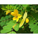 100g Certified Organic Cassia senna Leaves Powder