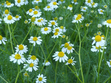 Load image into Gallery viewer, Chamomile, German (Matricaria Recutita) Seed