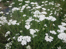 Load image into Gallery viewer, Yarrow (Achillea millefolium, herb) Seed