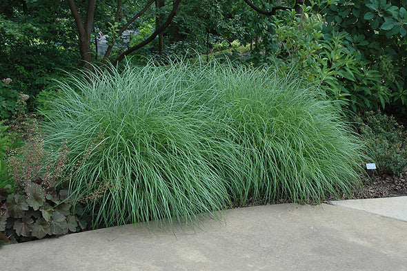 Miscanthus sinensis 'Little Kitten'
