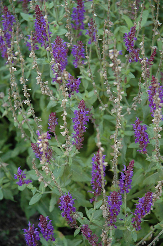 Salvia nemorosa 'Lyrical Blues'