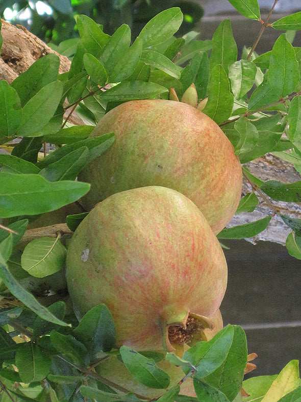 Punica granatum 'Wonderful'