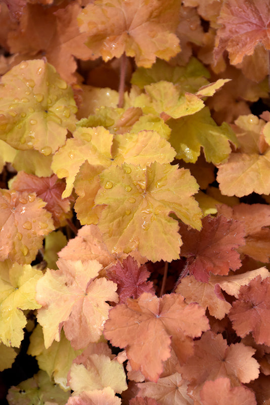 Heuchera 'TNHEUNEA' 'Northern Exposure Amber'
