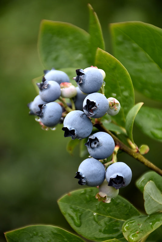 Vaccinium 'Northblue'