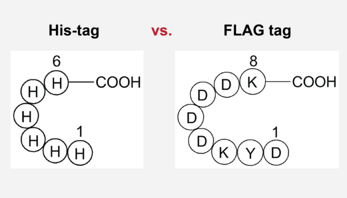 Common protein tags explained - His-tag and FLAG