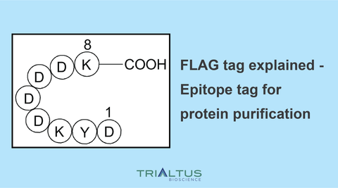 flag tag epitope for protein purification