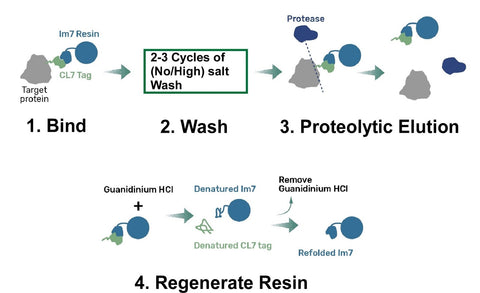 cl7 purification workflow