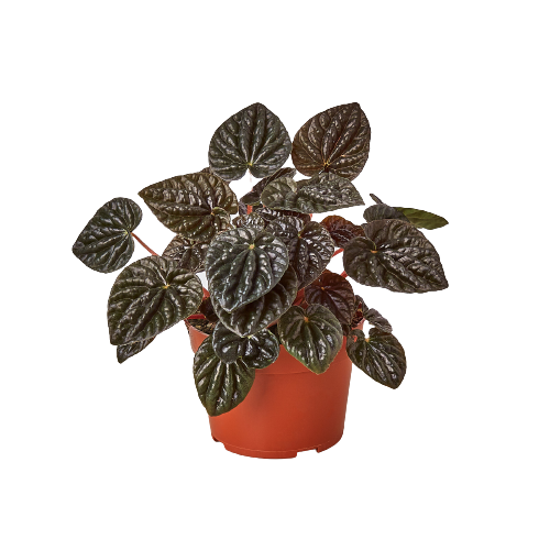 Peperomia 'Ripple Red'