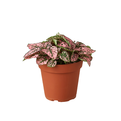 "Hypoestes 'Polka Dot' - 4"" Pot"