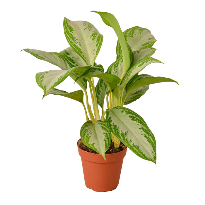 Chinese Evergreen 'Silver Bay'