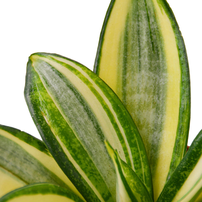 Snake Plant Gold Hahnii