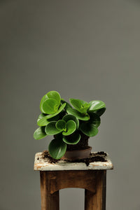The Peperomia Obtusifolia, also known as the Baby Rubber Plant, which is a hardy, succulent-like house plant.