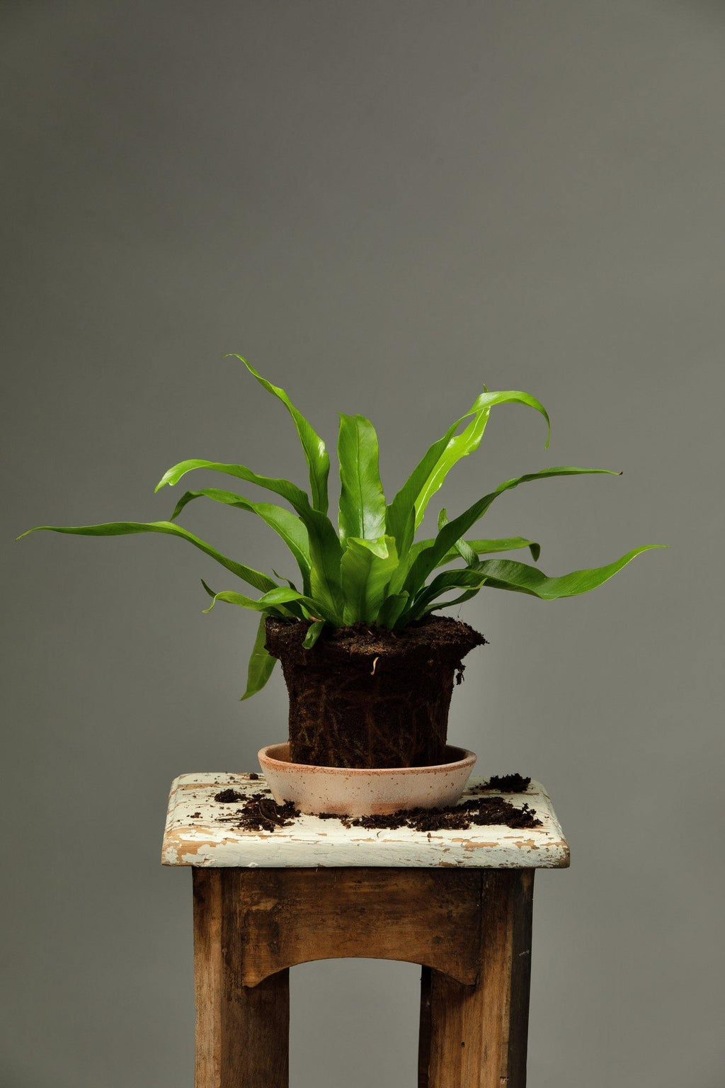 The Asplenium Nidus, also know as the Bird's Nest Fern, which is a houseplant that originates from tropical Asia.