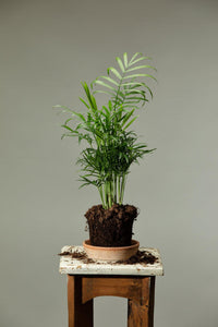 The parlour palm houseplant, which is one of the best beginner indoor plants.