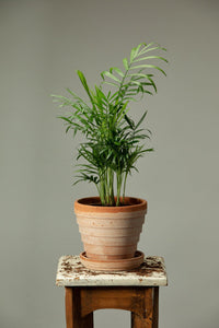 Chamaedorea Elegans office plant in a Berg's Venus Rosa terracotta houseplant pot with drainage.