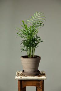 The Parlour Palm, which is a popular indoor plant for beginners, in a Berg's Venus Nordic Grey houseplant pot.