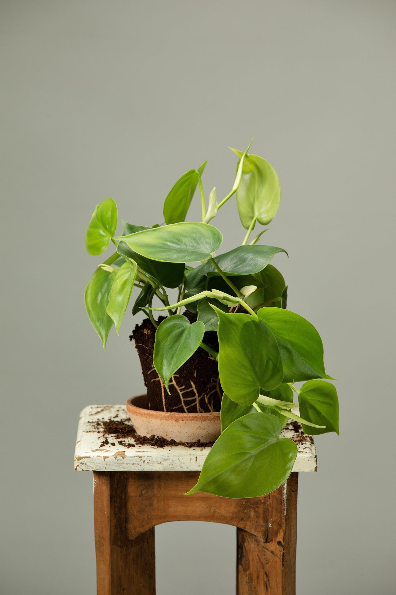 The trailing Heartleaf Philodendron indoor plant, which is symbolic of love.
