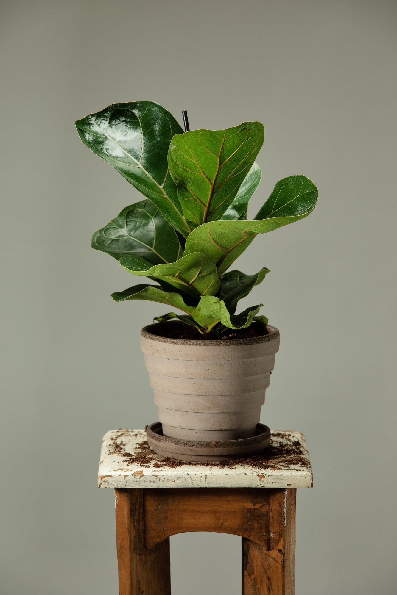 Ficus Lyrata indoor houseplant in a Berg's Venus Nordic Grey Italian indoor pot.