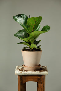 Fiddle Leaf Fig Tree in a Berg's Julie Rosa terracotta houseplant pot.