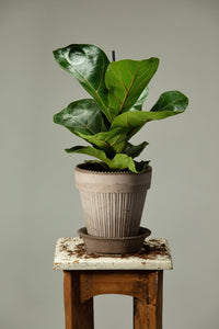 Fiddle Leaf Fig office plant in a Berg's Simona Nordic Grey handmade pot.