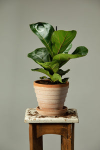 Fiddle Leaf fig plant in a Berg's Venus Rosa handmade pot with drainage and a plant pot base.