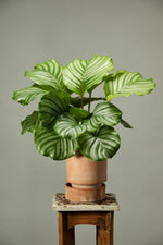 Load image into Gallery viewer, Prayer plant in a Berg's Hoff Rosa indoor houseplant pot.