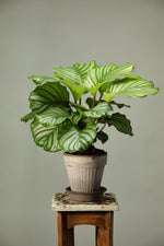 Load image into Gallery viewer, A Calathea Orbiflora prayer plant in a Berg's Simona Nordic Grey terracotta housplant pot.