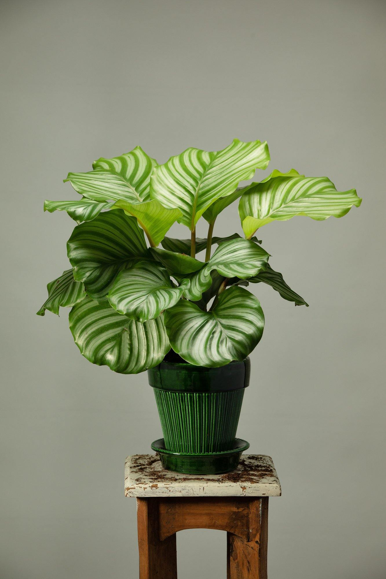 The Calathea Orbifolia office plant in a Berg's Simona Emeral green glazed indoor plant pot.