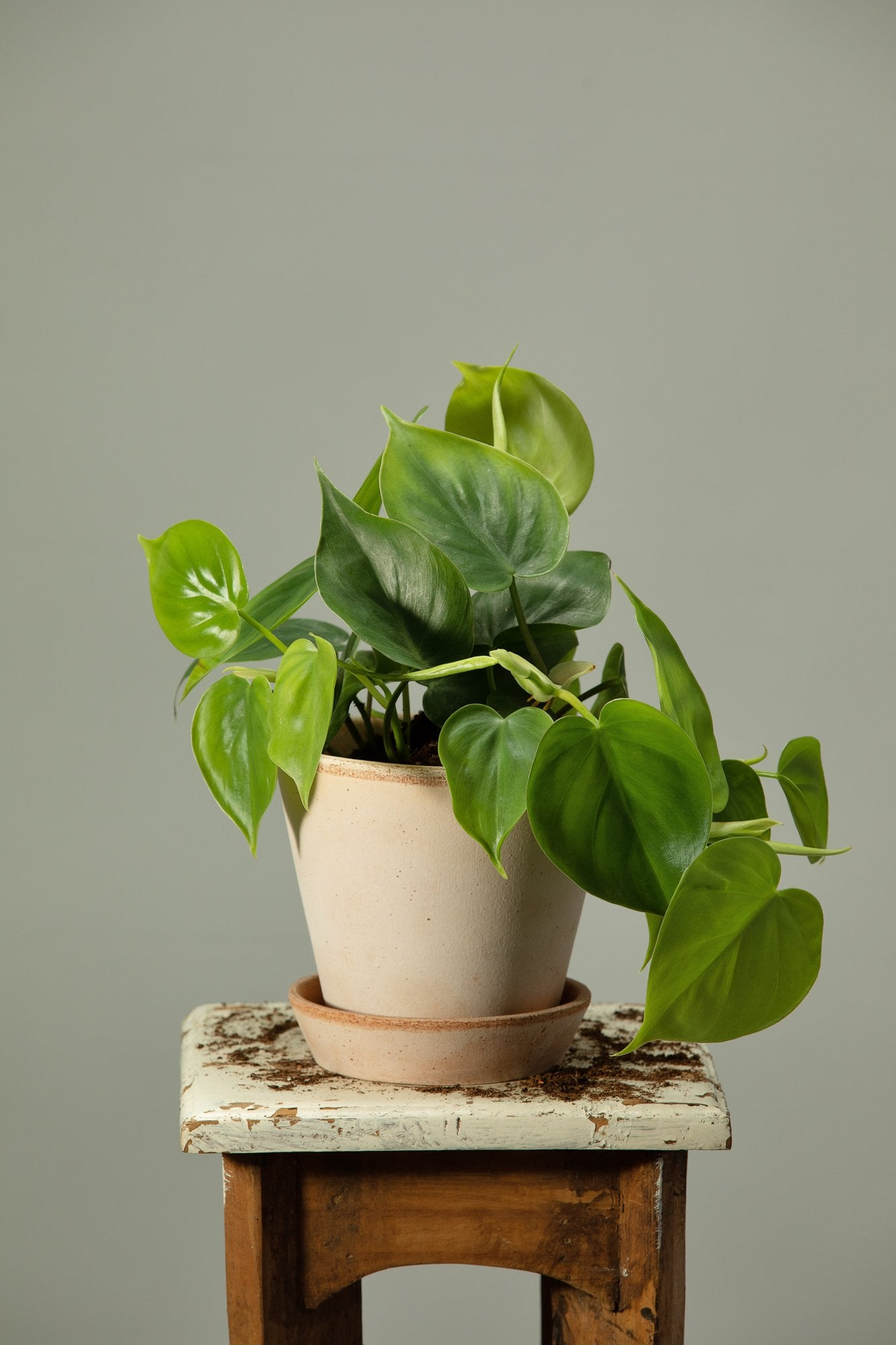 The Philodendron Scandens climbing indoor plant potted in a Berg's Julie Rosa Italian houseplant pot.