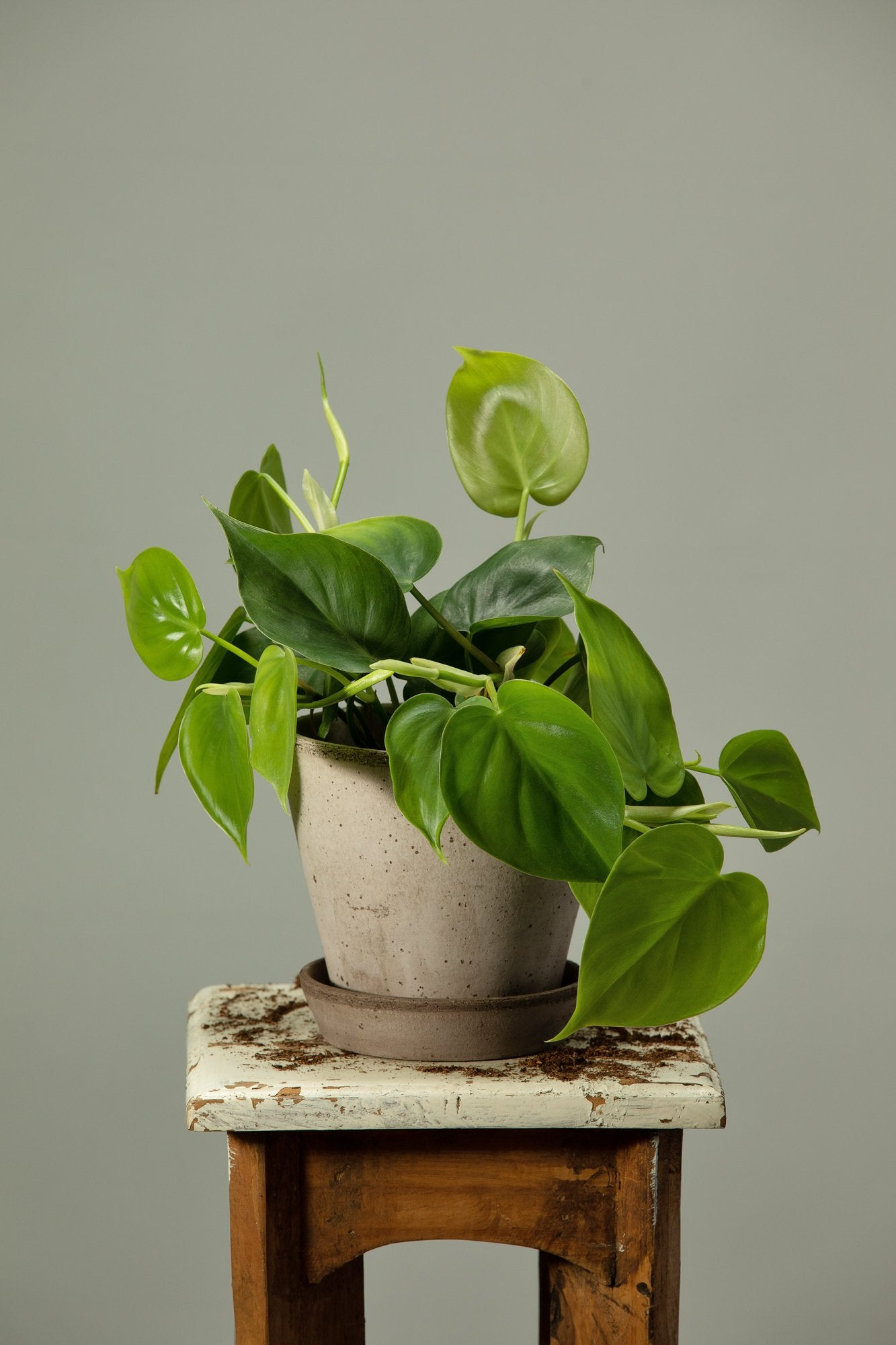 The Heartleaf Philodendron office plant repotted in a Berg's Julie Nordic Grey handmade terracotta houseplant pot.