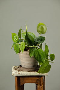 The Philodendron Scandens, an easy to grow and propagate indoor plant, in a Berg's Venus Nordic Grey pot.