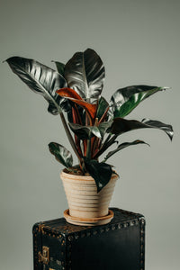 Philodendron Imperial Red indoor house plant potted in a Berg's Neptune Rosa indoor plant pot.