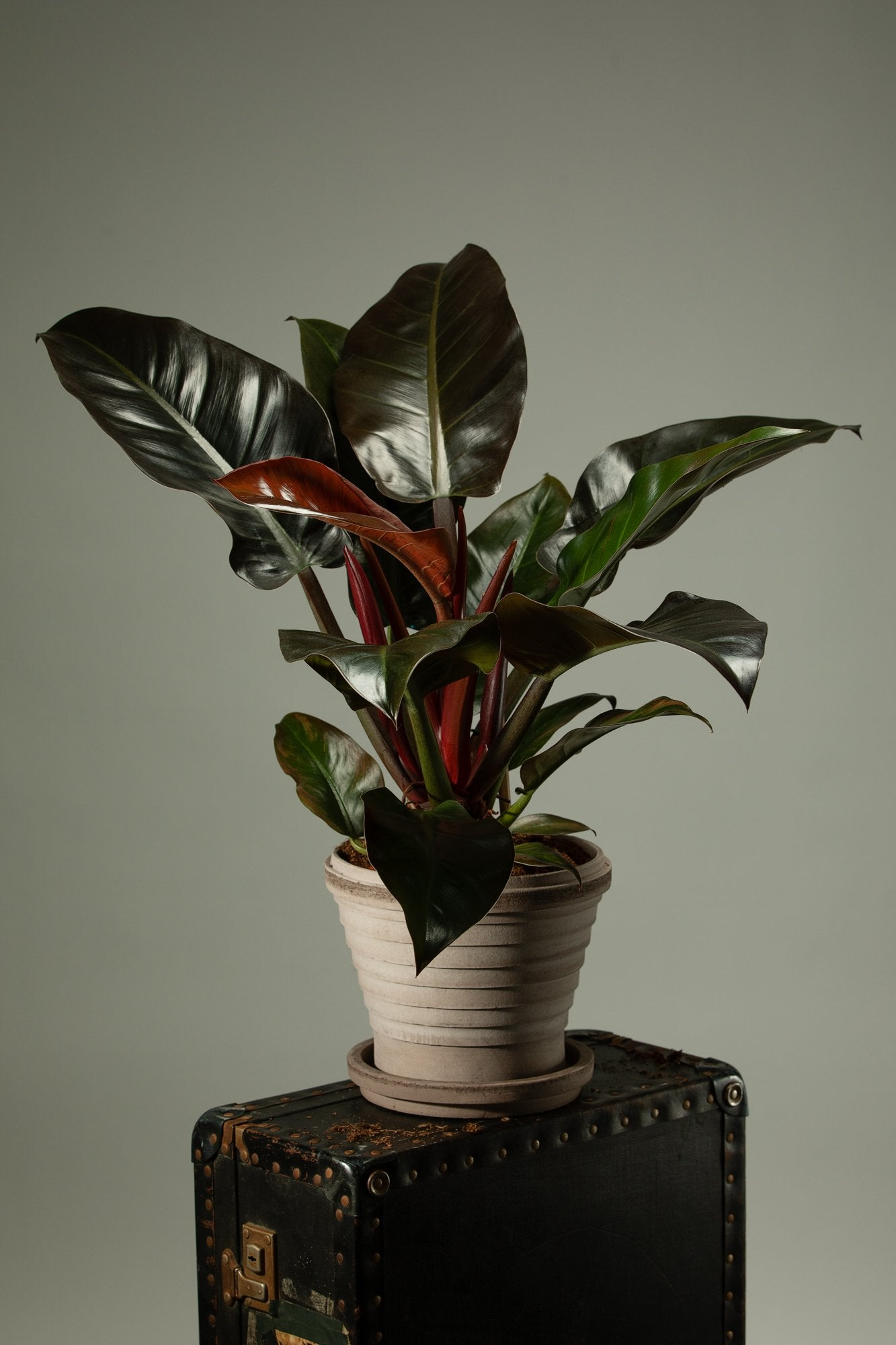 The beautiful Philodendron Imperial Red indoor plant in a Berg's Neptune handmade terracotta indoor pot.