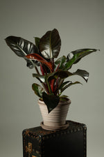 Load image into Gallery viewer, The beautiful Philodendron Imperial Red indoor plant in a Berg's Neptune handmade terracotta indoor pot.