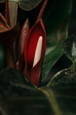 Load image into Gallery viewer, The Philodendron Red Imperial's beautiful, and shortlived, flower.